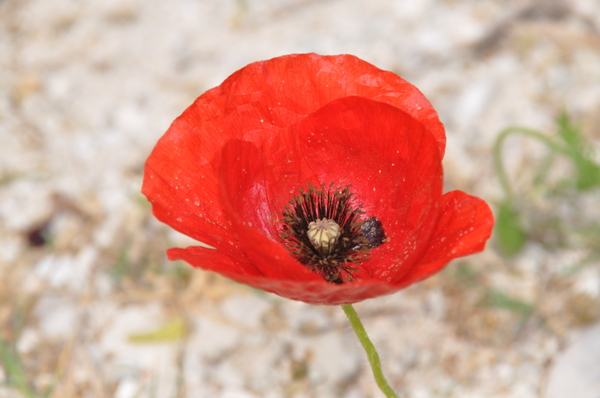 Poppies 1: Red poppies at the beach, greece