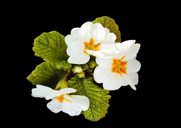 White Primrose: White primroses coming into flower
