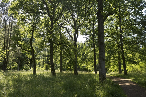 Summer forest: Deciduous forest (mainly oaks) in Wiltshire, England, in summer.