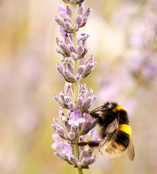 Bee on Lavender 3: A fuzzy bumblebee collecting pollen from lavender.