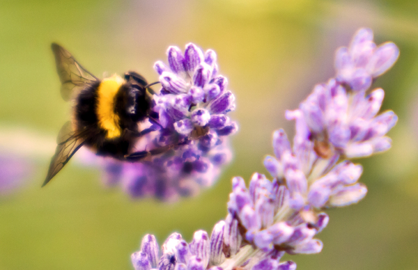 Nature's Pollinator: A fuzzy bumblebee collecting pollen from lavender.  The deliberate soft focus gives the image a dreamy, warm summer afternoon in the garden feel.