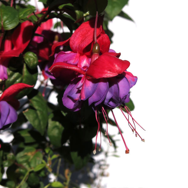 red&blue fuchsia: none