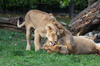 2 Lionesses playing and lickin