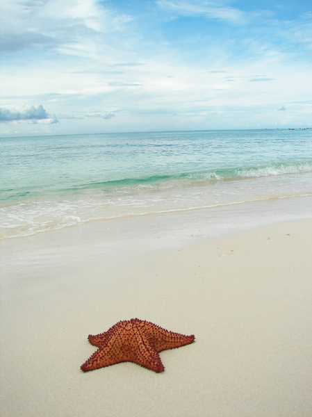 Sea Star: We found this sea star not far from the shore in Montego beach - Jamaica. It was huge!Please leave a comment if you like it or use it. It stimulates me to create more stockphotos / vectors and credit me with
