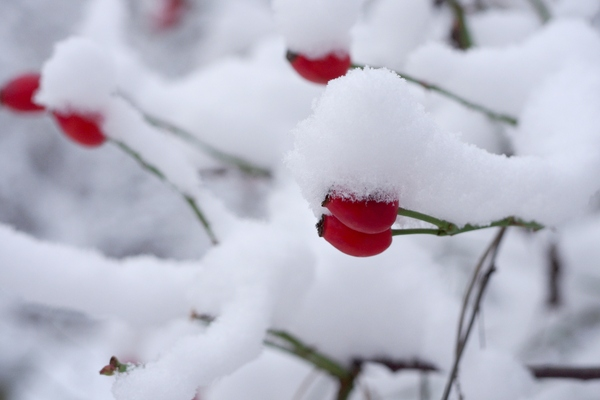 Red hips with snow: Red hips covered with snow