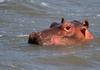 Hippopotamus (Hippo) family 5