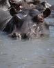 Hippopotamus (Hippo) family 1
