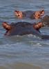 Hippopotamus (Hippo) family 3
