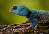 blue-head lizard 1