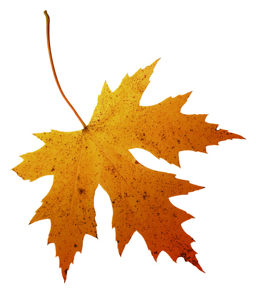 Leaf  57: A series of isolated fall leaves.