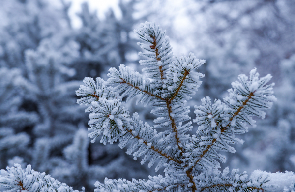 Frozen fir branches: Christmas Tree