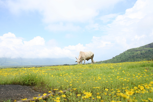 The Grazing Cow: This picture is taken at the top of the Malshej Ghats in Maharsahtra a 4 hours drive from Mumbai