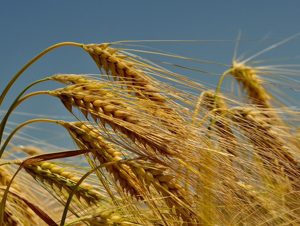 Wheat: no description