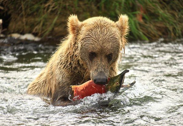 Bear fishing: no description
