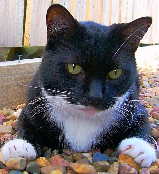 Tuxedo Cat: A black and white cat lying in the garden. This was my blind cat, who passed away in 2010. Sweet natured and beautiful. You may prefer:  http://www.rgbstock.com/photo/2dyVbrP/Cat+Peering  or:  http://www.rgbstock.com/photo/2dyV9tA/Dinky+the+Cat