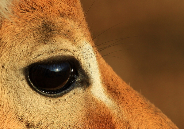 Impala Eye Close-up