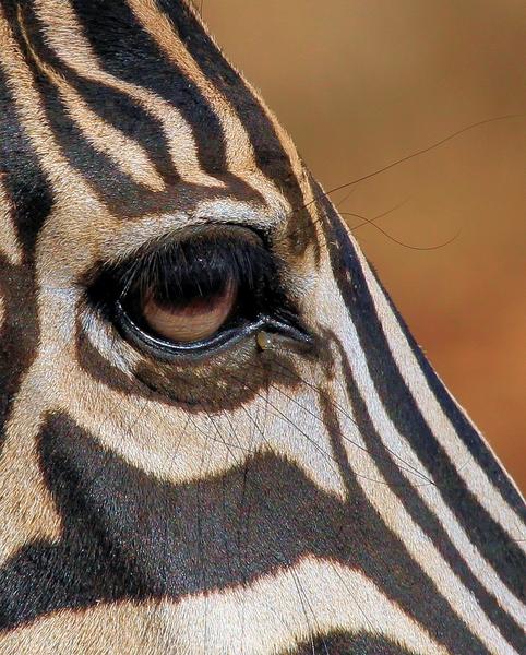 Zebra Eye 2