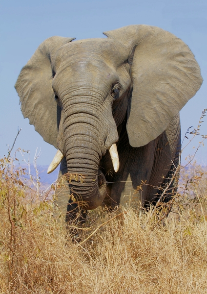 African Elephant (Trunk