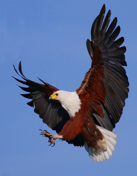 Fish Eagle  1: Various African Fish Eagle landing and in flight images