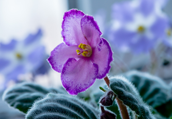 Viola: Edible Flower