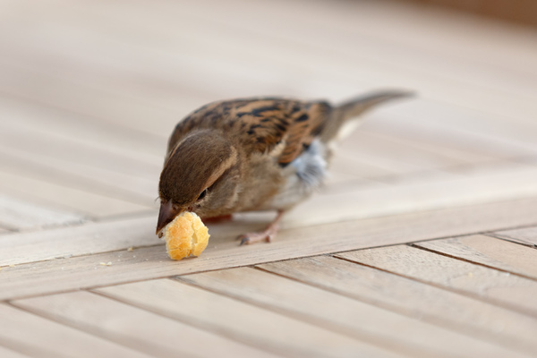 Small bird eating bread: Close up picture of a small bird eating some bread on a wooden table