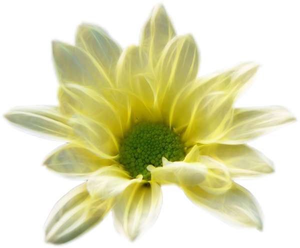 Fractal Flower 2: A beautiful yellow fractal flower with a white  background. You may prefer:  http://www.rgbstock.com/photo/oCOyWIK/Fractal+Daisy  or:  http://www.rgbstock.com/photo/mikJqII/Abstract+Rose+3  or:  http://www.rgbstock.com/photo/oyFvoQQ/Bauhinia+Fractal