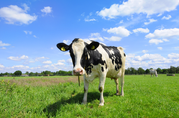 cow: Dutch cow on sunny day