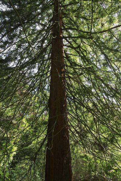 evergreen tree bark background - photo #31
