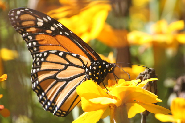 monarch butterfly: monarch butterfly on marigolds