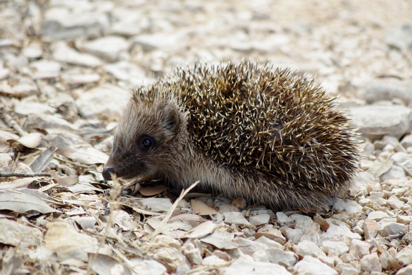 Hedgehog: Young hedgehog on Pag island, Croatia