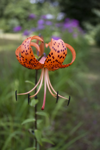 Tiger Lily: Tiger lily