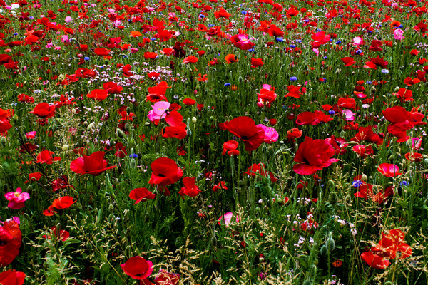 Poppy field: A poppy field on the isle of Reichenau/Lake Constance