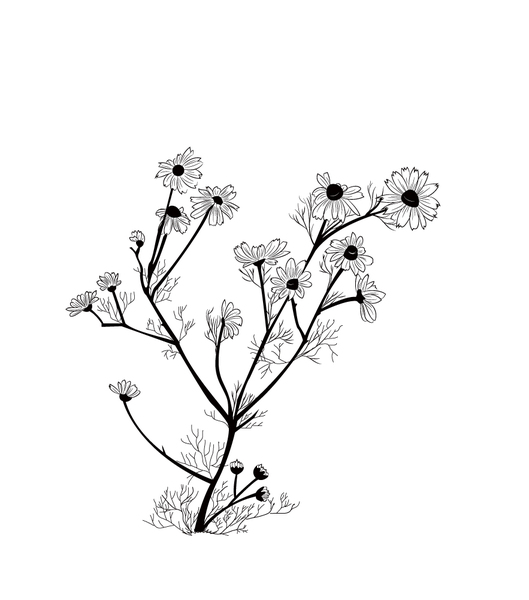 Chamomile: Chamomile illustration