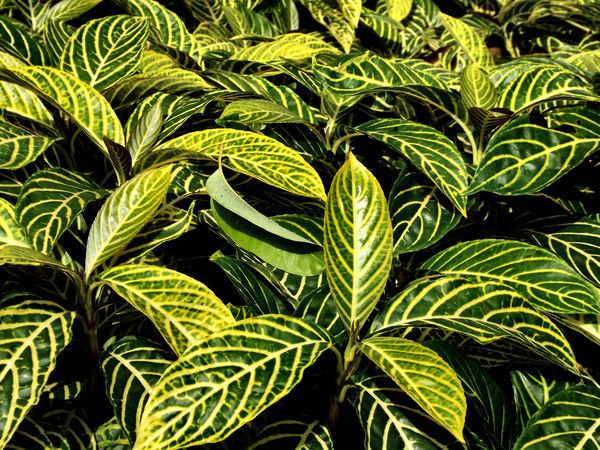 Stock de fotos gratis verde y amarillo foliage1 veteado for Vegetacion ornamental