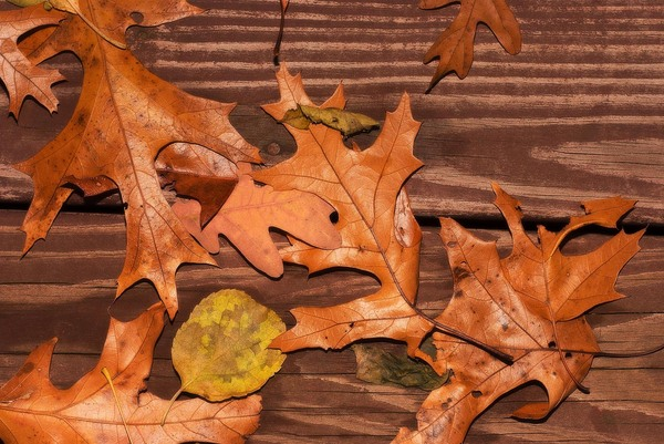 Oak Leaves: Oak leaves lying on a wooden surface.