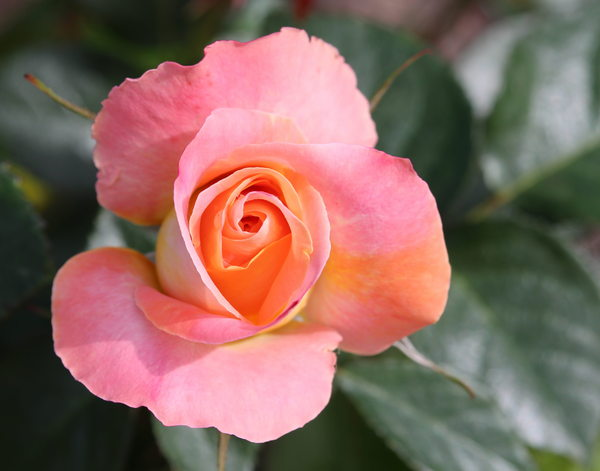 Pink and Apricot Rosebud: A beautiful pink and apricot coloured rose. You may prefer:  http://www.rgbstock.com/photo/2dyVpyq/Rose+Dream  or:  http://www.rgbstock.com/photo/mikJqII/Abstract+Rose+3