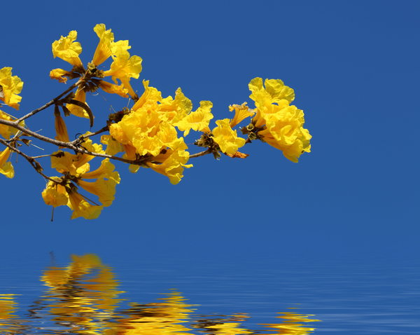 Free stock photos rgbstock free stock images yellow flowers yellow flowers over water mightylinksfo