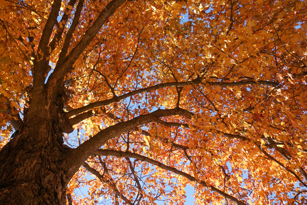Tree: Fall leaves
