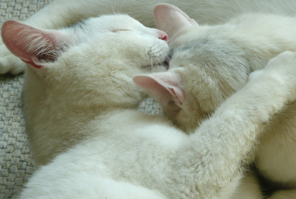 Hugs and kisses: Our two white cats, which are brothers, kissing, hugging and cleaning each other