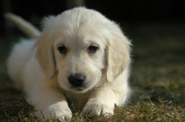 Baby dog: Really young golden retriever(Ermine 9 weeks)(iso250 f2.8 1/4000)