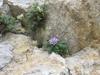Raponzolo di roccia 2