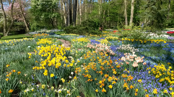 Spring flowers: A garden of spring flowers in the Netherlands.