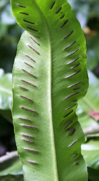 Fern reproduction: Band-shaped sori on the underside of a fern leaf in West Sussex, England.