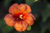 Trumpet Vine Flower