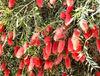 bottlebrush abundance1
