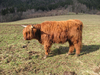 Hairy cow 1