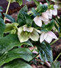 blooming helleborus2