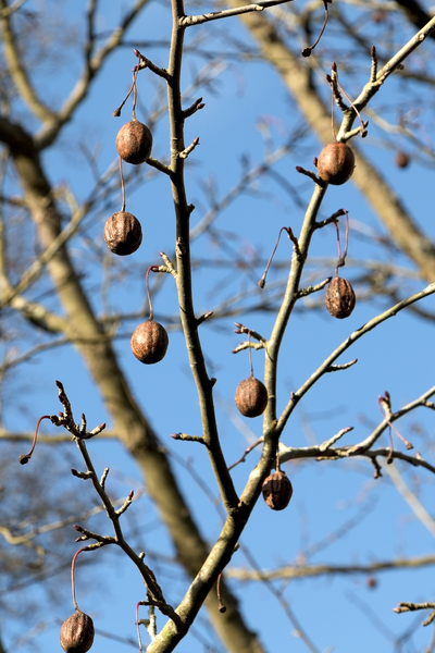 Davidia fruits: Fruits of Davidia involucrata (dove tree, handkerchief tree, pocket handkerchief tree, ghost tree) in winter.
