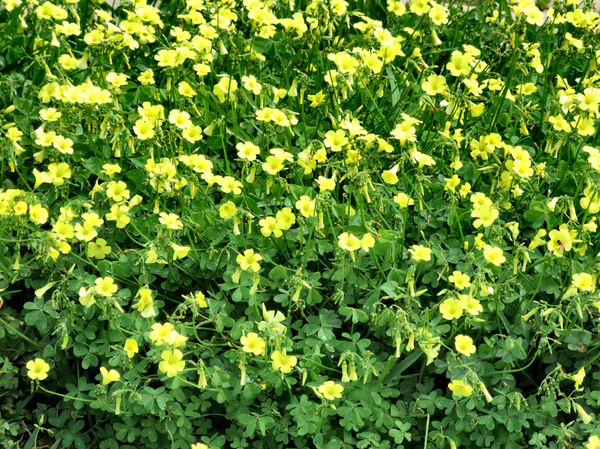 Free stock photos rgbstock free stock images blooming blooming abundance1 yellow flowering backyard ground cover mightylinksfo