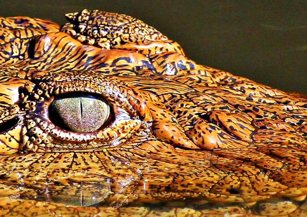 Croc eye: close-up of a Nile Crocodile's eye and ear